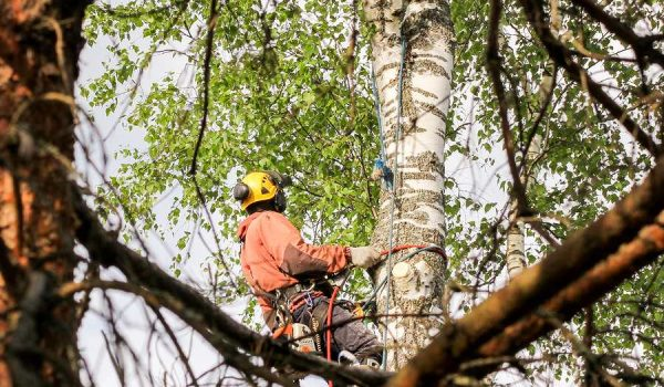 Homeowner Strategies for Consulting an Arborist